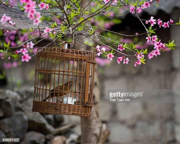 Bird in a birdcage under peach blossom