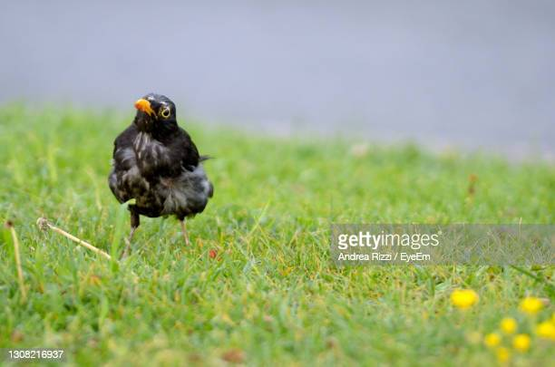 bird in a field - andrea rizzi stock pictures, royalty-free photos & images