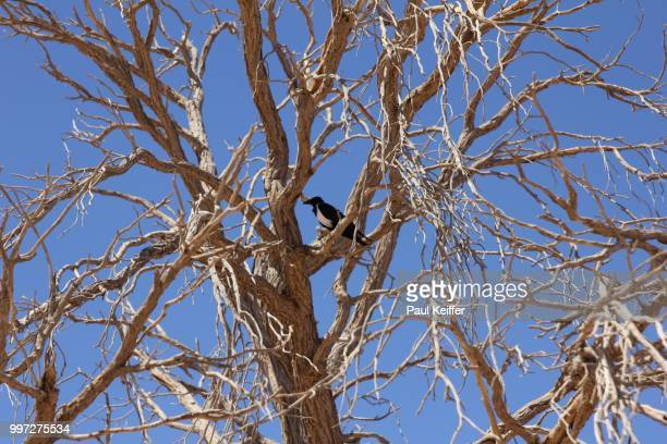 bird in a tree in the namib desert - keiffer stock pictures, royalty-free photos & images