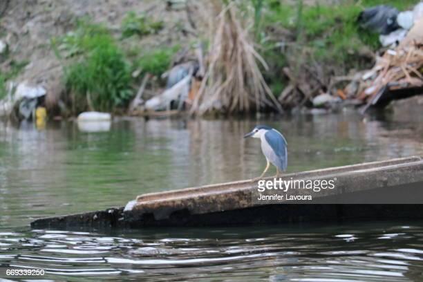 bird in anzali polluted lagoon - desastre ecológico - fotografias e filmes do acervo