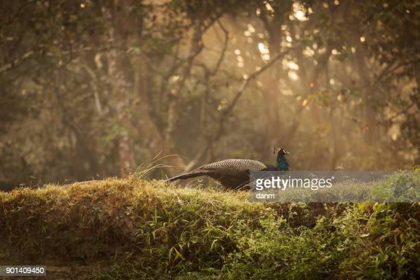 bird in chitwan national park in nepal. - chitwan stock pictures, royalty-free photos & images