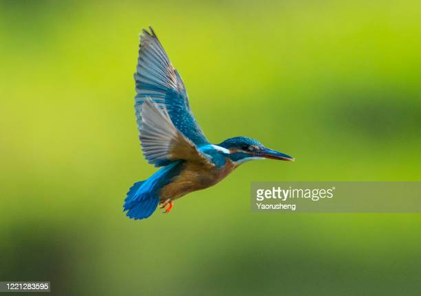 bird in flight; kingfisher - kingfisher stock pictures, royalty-free photos & images