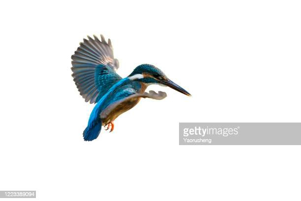 bird in flight; kingfisher - カワセミ科 ストックフォトと画像
