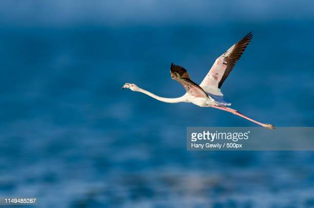 bird in flight - royal tern stock photos and pictures