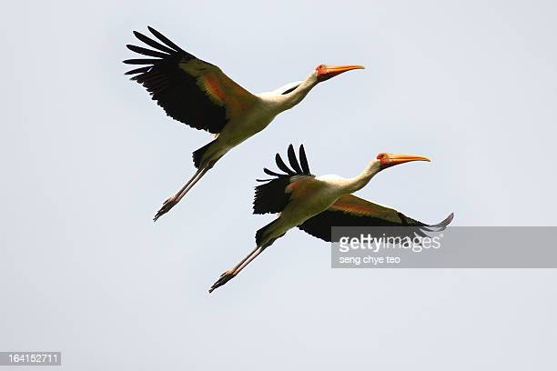 bird in flying action - crane bird stock photos and pictures