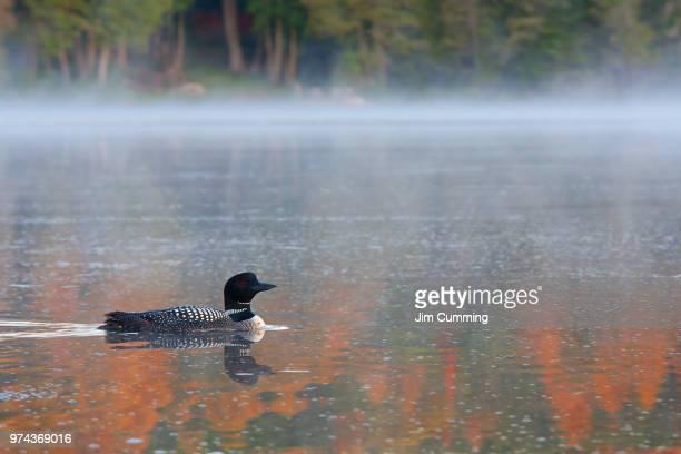 Bird in misty lake, Wilson Lake, Canada