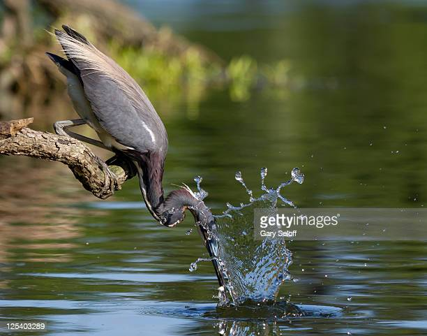 bird in search of fish - pasadena texas stock photos and pictures