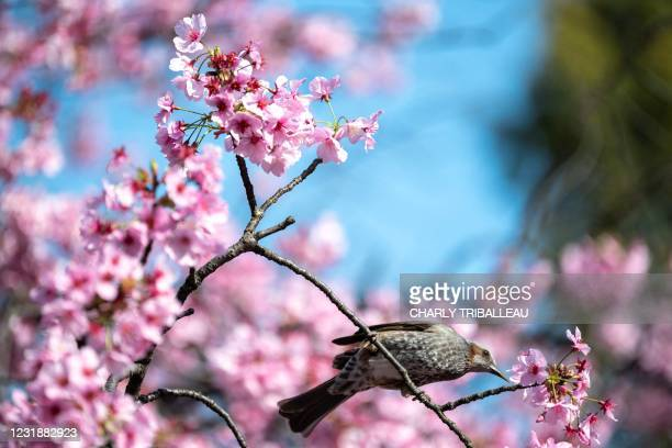 Bird is seen next to cherry blossoms at a park in Tokyo on March 23 as the country's famed cherry trees began their annual bloom nearly two weeks...