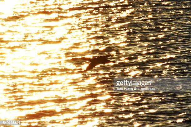A bird, Japanese cormorant flying on the surface of the sea in the morning