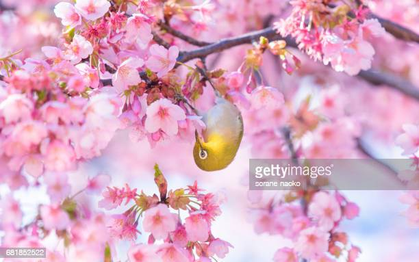 "bird ""japanese white eye"" (mejiro)  on cherry tree (sakura) - march month stock pictures, royalty-free photos & images"