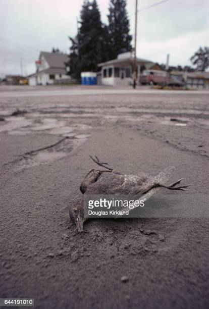 Bird Killed from Mount St. Helens Eruption
