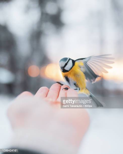 bird landing on persons hand during winter,finland - images stock pictures, royalty-free photos & images