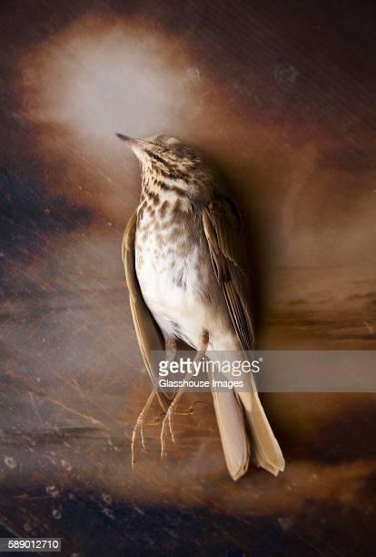 Bird Lying