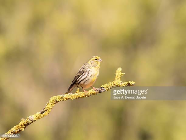bird  male so called verdecillo (serinus serinus), species of bird paseriforme of the family fringillidae - petechiae stock pictures, royalty-free photos & images