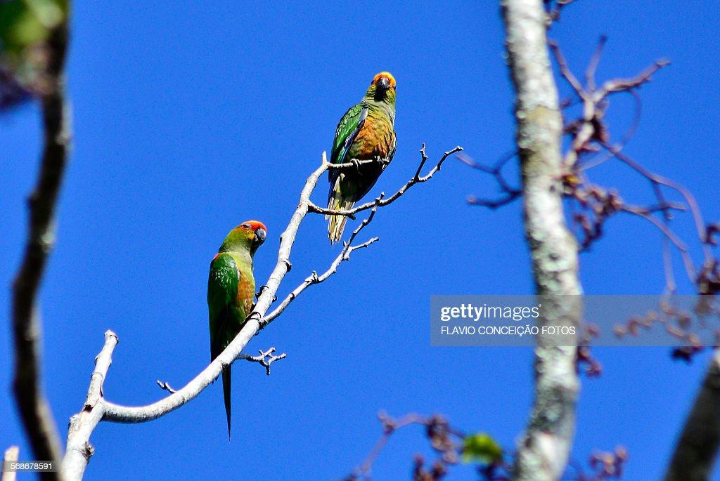 bird maritaca or maitaca Brazil : Stock Photo