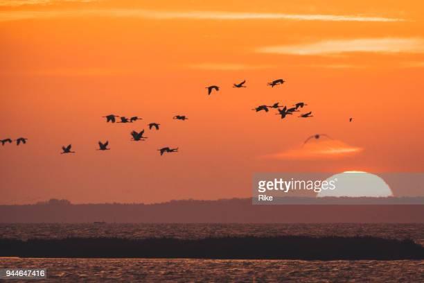 vogelzug der kraniche [grus grus] morgens sonnenaufgang über dem wasser - tierisches verhalten stock-fotos und bilder