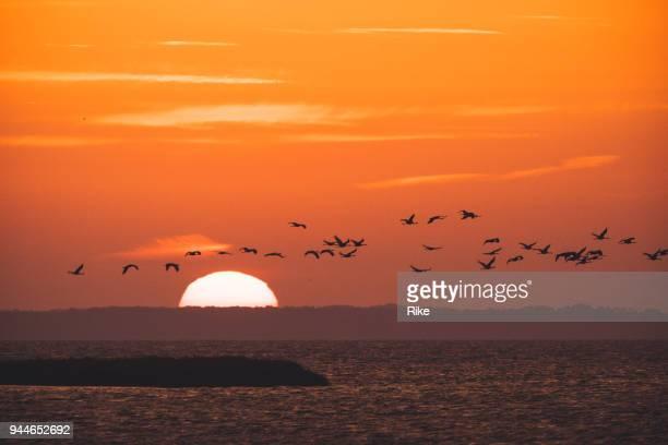 migration des oiseaux de la grue cendrée [grus grus] le matin lever du soleil au-dessus de l'eau - fischland darss zingst photos et images de collection