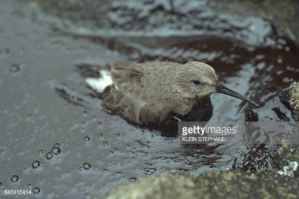 A bird mired in an oil slick