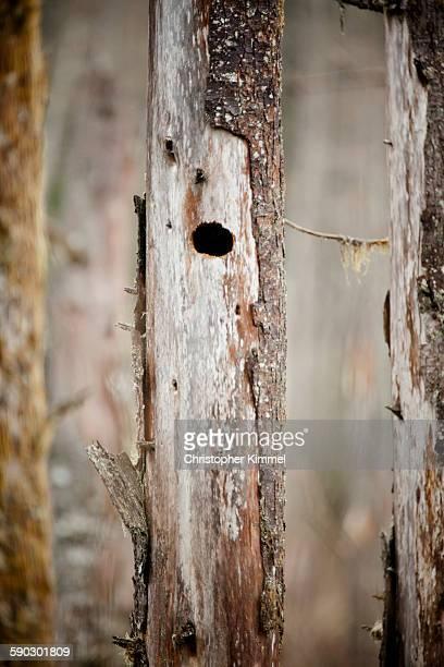 Bird nest cavity in a dead tree.