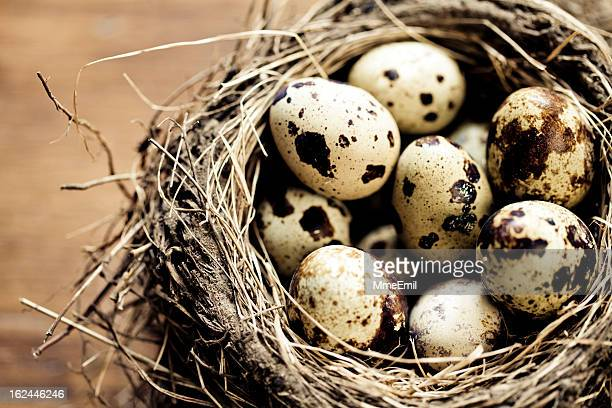 bird nest - quail bird stock photos and pictures