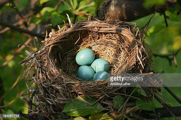 bird nest - birds nest stock photos and pictures