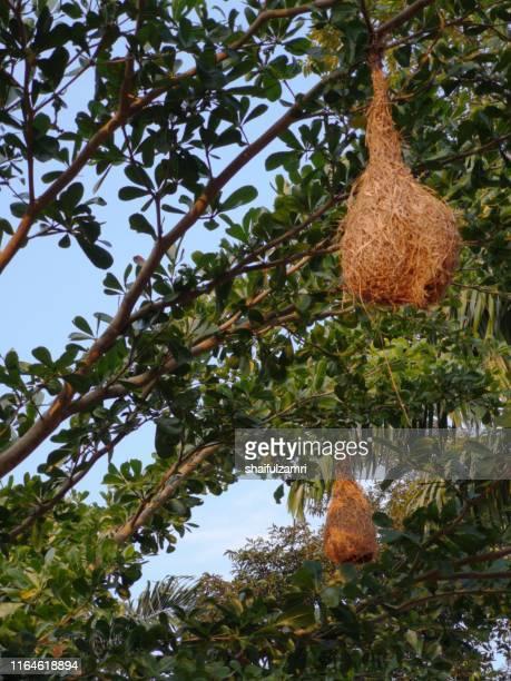 bird nests of intricately woven vegetation - shaifulzamri stock pictures, royalty-free photos & images