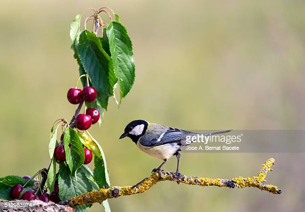 Bird of,  'Carbonero comun', (Parus major), Species (Paridae),put on a branch