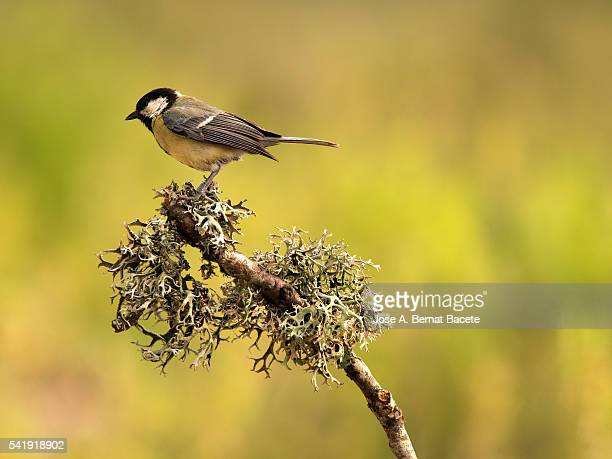 Bird of 'carbonero comun', (Parus major), Species (Paridae), Put on a branch with moss and lichens