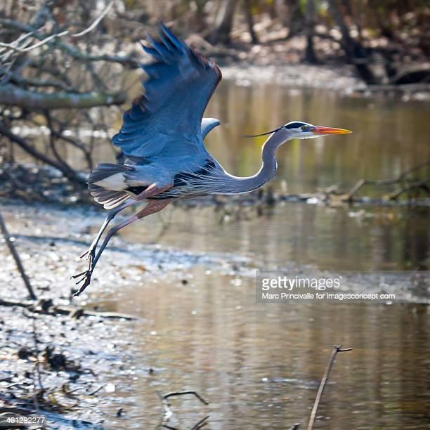 Bird of Louisiana Great Blue Heron