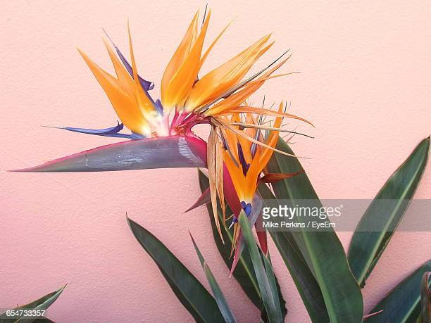 Bird Of Paradise Against Wall