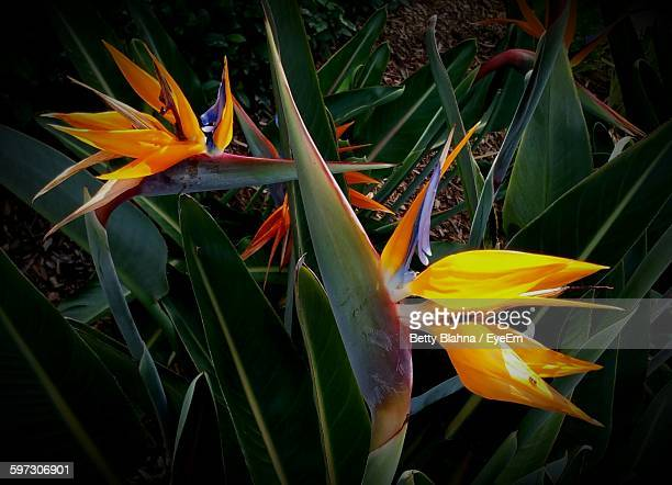 Bird Of Paradise Blooming On Field