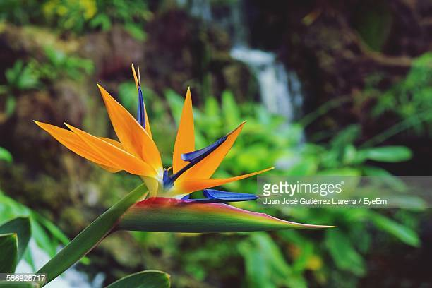 Bird Of Paradise Blooming Outdoors