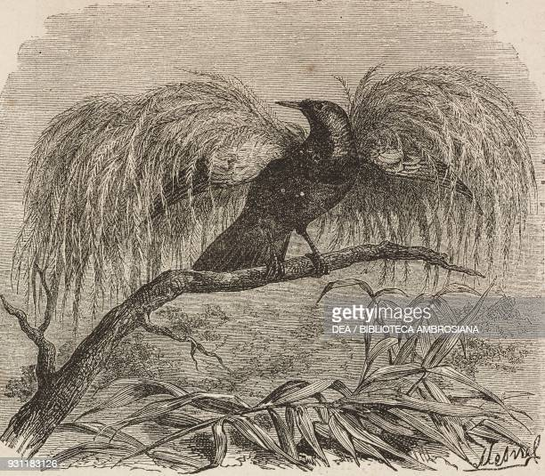 Bird of paradise drawing by A Mesnel from The Malay Archipelago 18611862 by Alfred Russell Wallace or from Il Giro del mondo Journal of geography...