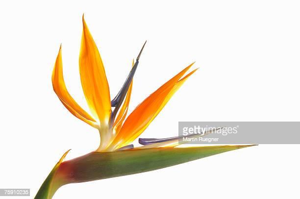 Bird of Paradise Flower (Strelitzia reginae) against white background, close up