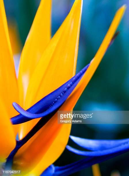 bird of paradise flower in bloom - pájaro tropical fotografías e imágenes de stock