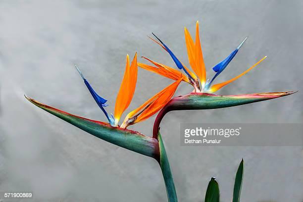 Bird of Paradise flowers