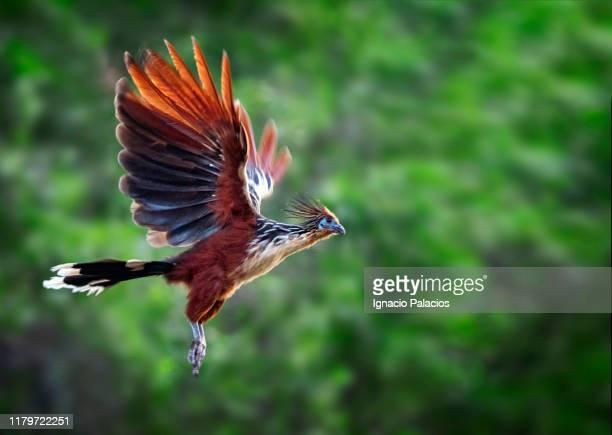 bird of paradise flying in las pampas wetlands, bolivia - feuchtgebiet stock-fotos und bilder