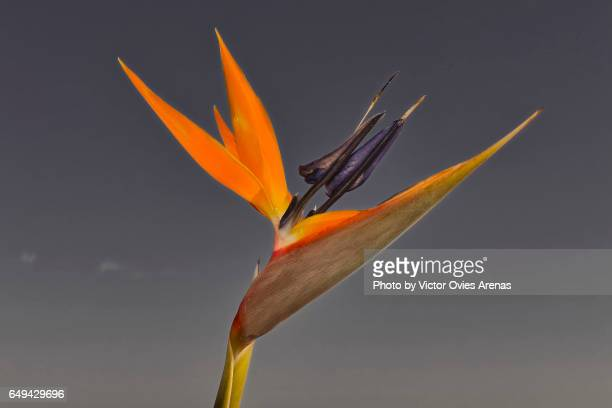Bird of Paradise (Strelitzia) in Almuñecar beach