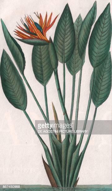 Bird of paradise or Crane lily colour copper engraving retouched in watercolour 9x15 cm from Dizionario delle scienze naturali compilato da vari...