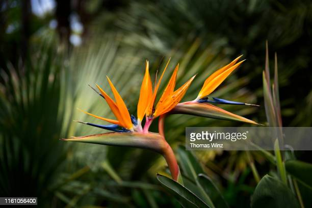 bird of paradise - nature stock pictures, royalty-free photos & images