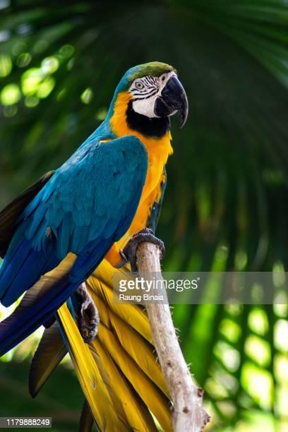 bird of paradise - loro fotografías e imágenes de stock