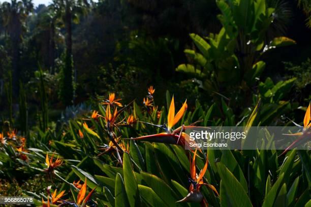 Bird of paradise (Strelitzia reginae)
