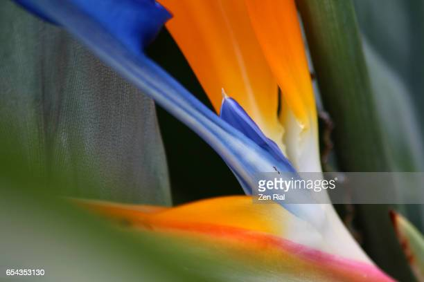 Bird of Paradise - plant, Strelitzia Reginae, Crane flower