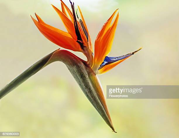 Bird of paradise Strelitzia reginae