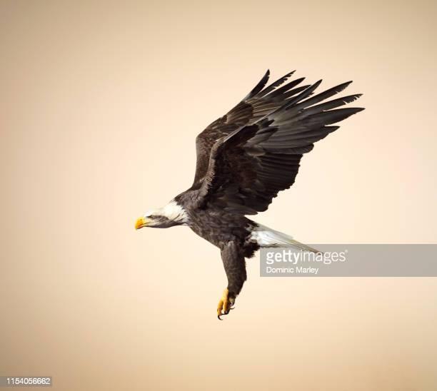 bird of prey bald eagle in flight - ala fotografías e imágenes de stock