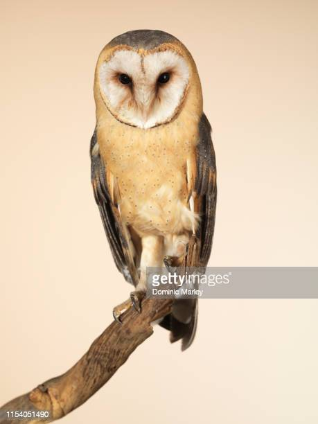 bird of prey barn owl - barn owl stock pictures, royalty-free photos & images