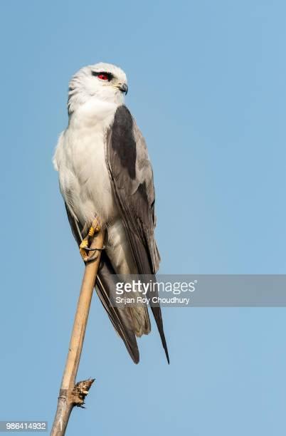 Bird of prey, Black-shouldered Kite, Elanus caeruleus, perched on bamboo pole