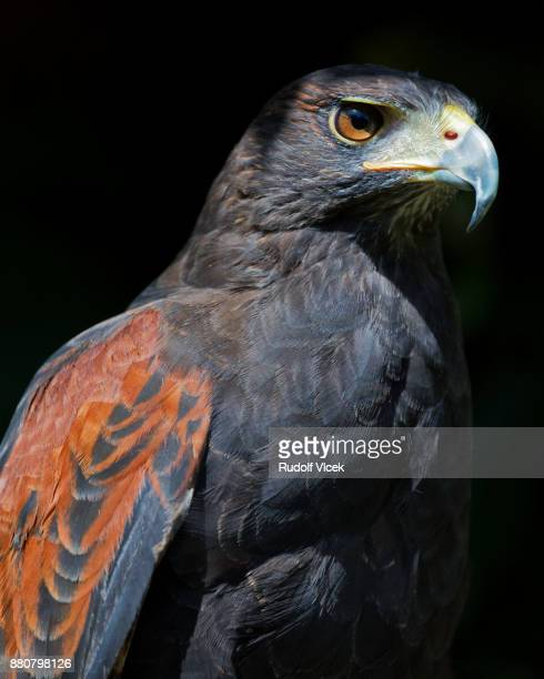 Bird of prey close up, Harris's hawk (Parabuteo unicinctus)