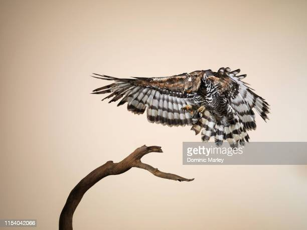 bird of prey crowned eagle landing on perch - snavel stockfoto's en -beelden