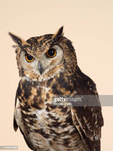 bird of prey eagle owl - フクロウ ストックフォトと画像